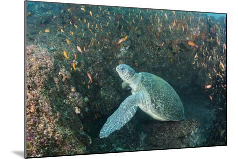 Green Sea Turtle, Aliwal Shoal, Umkomaas, KwaZulu-Natal, South Africa-Pete Oxford-Mounted Photographic Print
