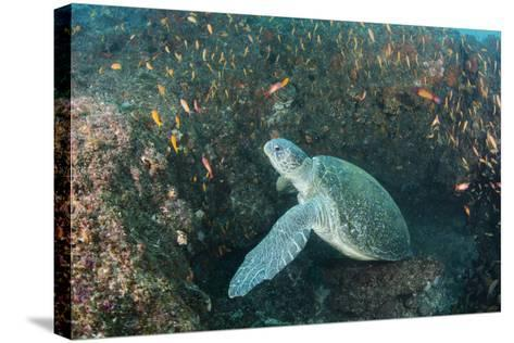 Green Sea Turtle, Aliwal Shoal, Umkomaas, KwaZulu-Natal, South Africa-Pete Oxford-Stretched Canvas Print