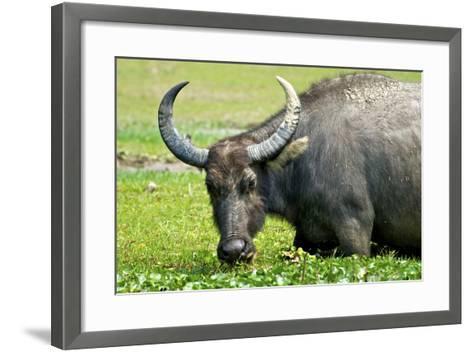 Water Buffalo Grazes in a Rice Paddy, Pui O, Lantau Island, Hong Kong-Richard Wright-Framed Art Print