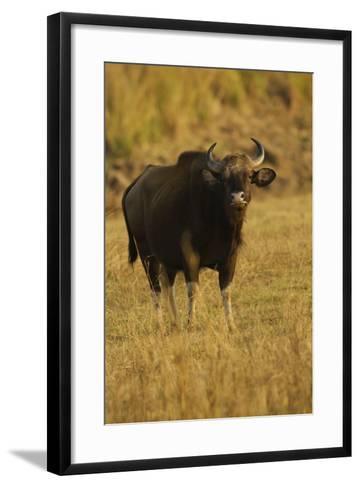 Indian Gaur, Tadoba Andheri Tiger Reserve, India-Jagdeep Rajput-Framed Art Print