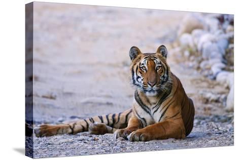 Royal Bengal Tiger by the Ramganga River, Corbett NP, India-Jagdeep Rajput-Stretched Canvas Print
