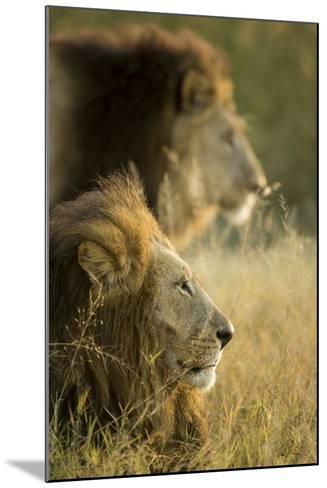 Botswana, Moremi Game Reserve, Lions in Morning Sun in Okavango Delta-Paul Souders-Mounted Photographic Print