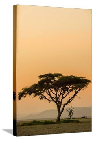 East Kenya, Amboseli NP, Sunset, Acacia Tree with Weaver Nests-Alison Jones-Stretched Canvas Print