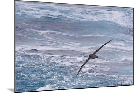 Drake Passage, Southern Ocean. Flying Light-Mantled Albatross-Janet Muir-Mounted Photographic Print
