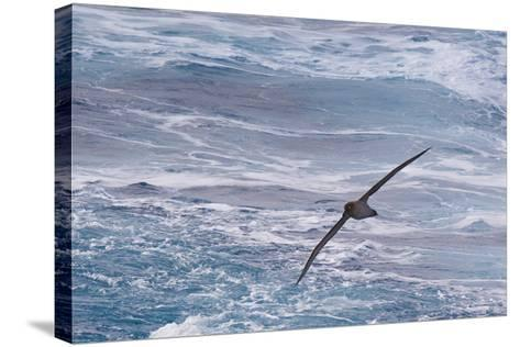 Drake Passage, Southern Ocean. Flying Light-Mantled Albatross-Janet Muir-Stretched Canvas Print