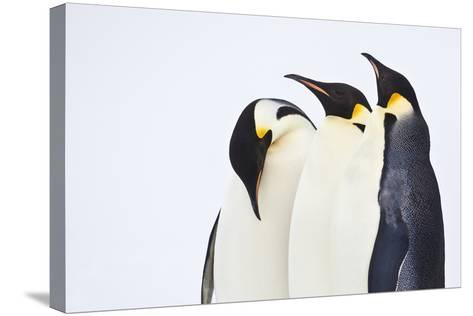 Snow Hill, Antarctica. Three Emperor Penguins. High Key-Janet Muir-Stretched Canvas Print