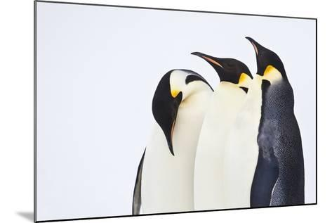 Snow Hill, Antarctica. Three Emperor Penguins. High Key-Janet Muir-Mounted Photographic Print