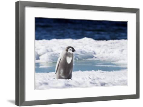 Cape Washington, Antarctica. An Emperor Penguin Chick with Heart-Janet Muir-Framed Art Print