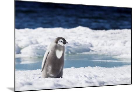 Cape Washington, Antarctica. An Emperor Penguin Chick with Heart-Janet Muir-Mounted Photographic Print