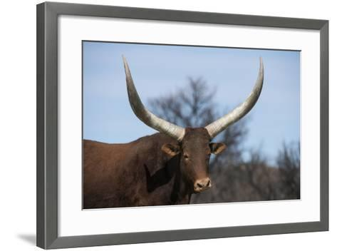 Watusi Cattle, Private Game Ranch, Great Karoo, South Africa-Pete Oxford-Framed Art Print