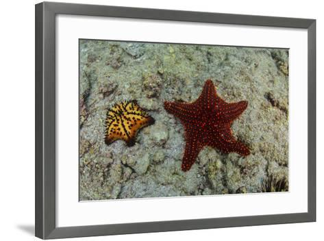 Chocolate Chip Starfish and Panamic Cushion Star, Galapagos, Ecuador-Pete Oxford-Framed Art Print