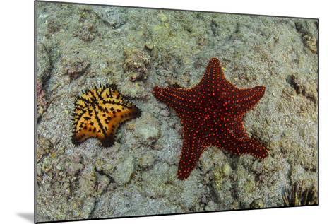 Chocolate Chip Starfish and Panamic Cushion Star, Galapagos, Ecuador-Pete Oxford-Mounted Photographic Print