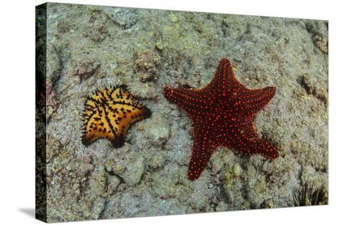Chocolate Chip Starfish and Panamic Cushion Star, Galapagos, Ecuador-Pete Oxford-Stretched Canvas Print