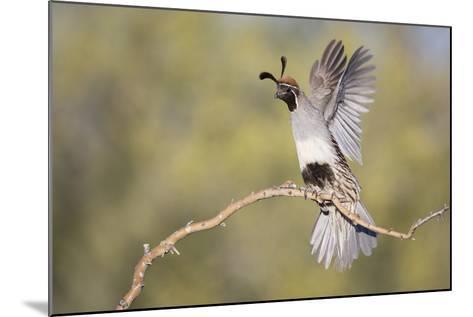 USA, Arizona, Buckeye. Female Gambel's Quail Raises Wings on Branch-Wendy Kaveney-Mounted Photographic Print
