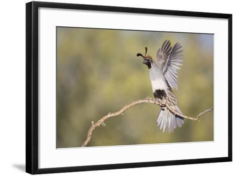 USA, Arizona, Buckeye. Female Gambel's Quail Raises Wings on Branch-Wendy Kaveney-Framed Art Print