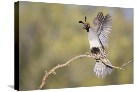 USA, Arizona, Buckeye. Female Gambel's Quail Raises Wings on Branch-Wendy Kaveney-Stretched Canvas Print