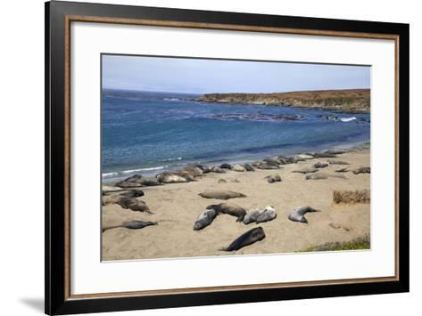 Elephant Seals, Piedras Blancas, San Simeon, California-Peter Bennett-Framed Art Print