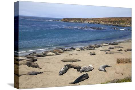 Elephant Seals, Piedras Blancas, San Simeon, California-Peter Bennett-Stretched Canvas Print
