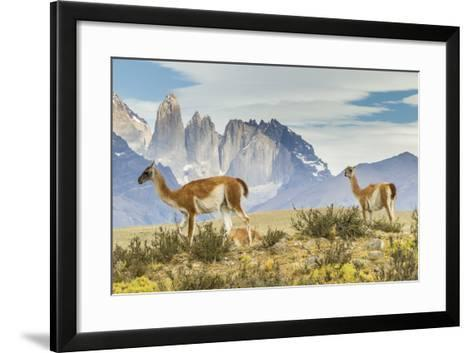 Chile, Patagonia, Torres del Paine. Guanacos in Field-Cathy & Gordon Illg-Framed Art Print