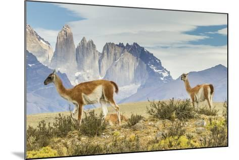 Chile, Patagonia, Torres del Paine. Guanacos in Field-Cathy & Gordon Illg-Mounted Photographic Print