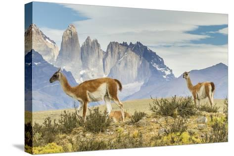 Chile, Patagonia, Torres del Paine. Guanacos in Field-Cathy & Gordon Illg-Stretched Canvas Print