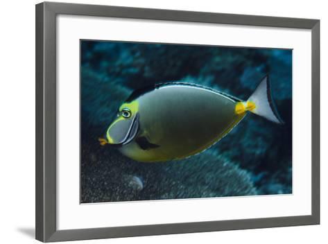 Orange Spine Unicorn Fish (Naso Lituratus), Rainbow Reef, Fiji-Pete Oxford-Framed Art Print