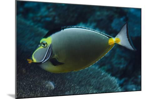 Orange Spine Unicorn Fish (Naso Lituratus), Rainbow Reef, Fiji-Pete Oxford-Mounted Photographic Print