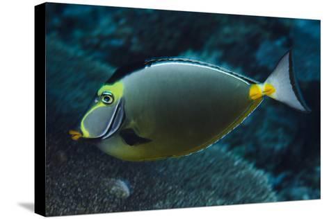 Orange Spine Unicorn Fish (Naso Lituratus), Rainbow Reef, Fiji-Pete Oxford-Stretched Canvas Print