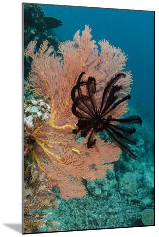 Sea Fan (Gorgonia) and Feather Star (Crinoidea), Rainbow Reef, Fiji-Pete Oxford-Mounted Photographic Print