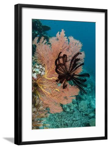 Sea Fan (Gorgonia) and Feather Star (Crinoidea), Rainbow Reef, Fiji-Pete Oxford-Framed Art Print