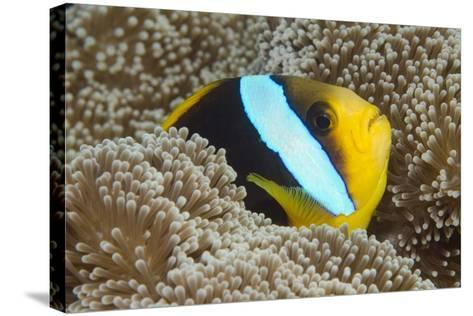 Orange-Finned Anemone Fish. Close to Host Anemone for Protection, Fiji-Pete Oxford-Stretched Canvas Print