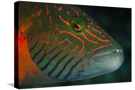 Lined Cheeked Wrasse (Oxycheilinus Digrammus), Rainbow Reef, Fiji-Pete Oxford-Stretched Canvas Print