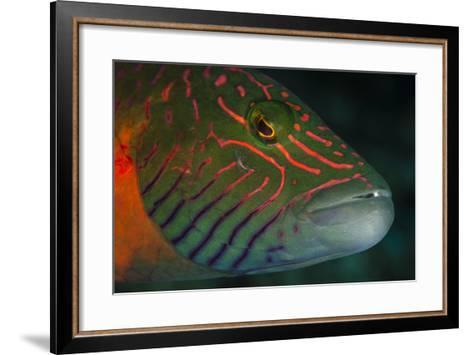 Lined Cheeked Wrasse (Oxycheilinus Digrammus), Rainbow Reef, Fiji-Pete Oxford-Framed Art Print