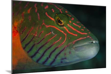 Lined Cheeked Wrasse (Oxycheilinus Digrammus), Rainbow Reef, Fiji-Pete Oxford-Mounted Photographic Print