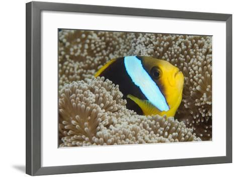 Orange-Finned Anemone Fish. Close to Host Anemone for Protection, Fiji-Pete Oxford-Framed Art Print