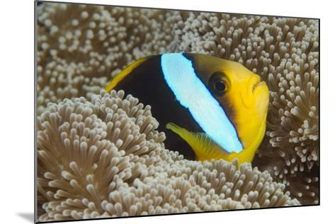 Orange-Finned Anemone Fish. Close to Host Anemone for Protection, Fiji-Pete Oxford-Mounted Photographic Print