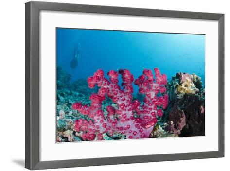 Soft Coral (Dendronephthya), Rainbow Reef, Fiji-Pete Oxford-Framed Art Print