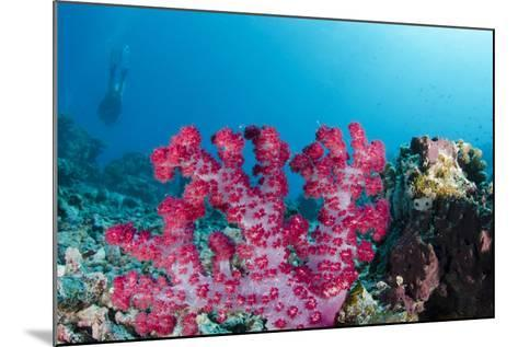 Soft Coral (Dendronephthya), Rainbow Reef, Fiji-Pete Oxford-Mounted Photographic Print