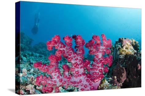 Soft Coral (Dendronephthya), Rainbow Reef, Fiji-Pete Oxford-Stretched Canvas Print