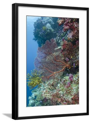 Sea Fan Gorgonian (Gorgonacea), Coral Reef, Namena Island, Fiji-Pete Oxford-Framed Art Print