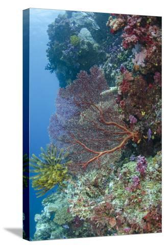 Sea Fan Gorgonian (Gorgonacea), Coral Reef, Namena Island, Fiji-Pete Oxford-Stretched Canvas Print