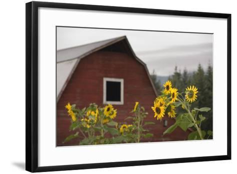 Canada, B.C., Vancouver Island, Cowichan Valley. Sunflowers by a Barn-Kevin Oke-Framed Art Print