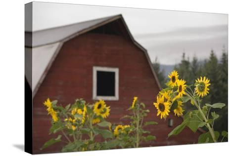Canada, B.C., Vancouver Island, Cowichan Valley. Sunflowers by a Barn-Kevin Oke-Stretched Canvas Print