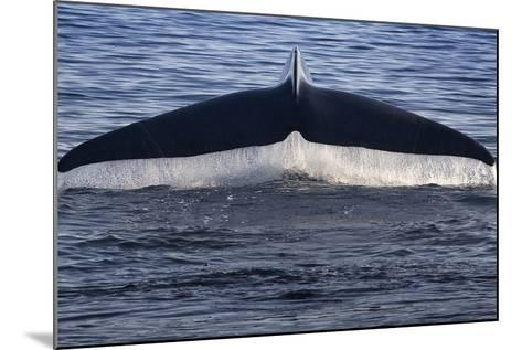 Norwegian Sea. Fluke of a Blue Whale-Janet Muir-Mounted Photographic Print