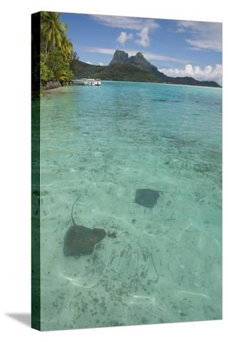 French Polynesia, Bora Bora. Haapiti. Shallow Lagoon with Stingrays-Cindy Miller Hopkins-Stretched Canvas Print