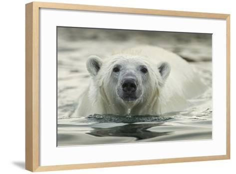Canada, Repulse Bay, Polar Bear Along Shoreline of Harbour Islands-Paul Souders-Framed Art Print