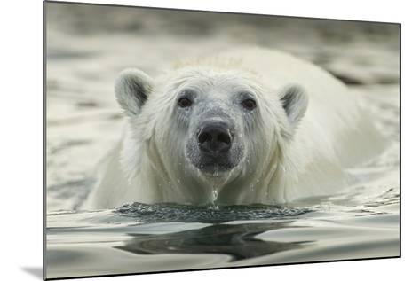 Canada, Repulse Bay, Polar Bear Along Shoreline of Harbour Islands-Paul Souders-Mounted Photographic Print