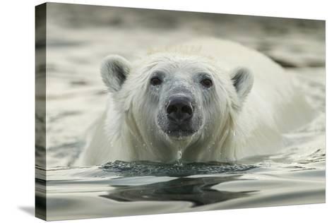 Canada, Repulse Bay, Polar Bear Along Shoreline of Harbour Islands-Paul Souders-Stretched Canvas Print