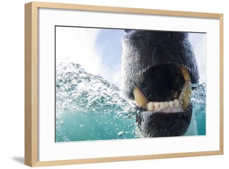 Canada, Nunavut Territory, Repulse Bay, Polar Bear in Hudson Bay-Paul Souders-Framed Art Print