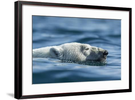 Canada, Nunavut, Repulse Bay, Polar Bear Swimming Near Harbour Islands-Paul Souders-Framed Art Print